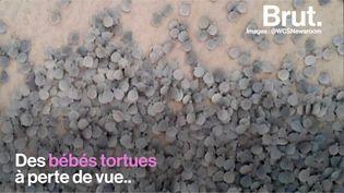 VIDEO. Au Brésil, des tortues menacées d'extinction naissent par milliers (BRUT)