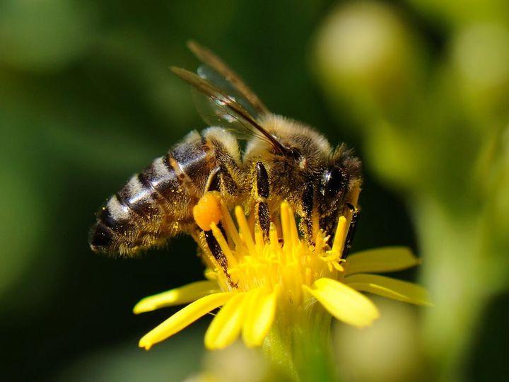 Une abeille domestique butine une inule. (PRISCA)