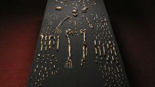 """Le squelette présenté comme étant celui d'un """"Homo naledi"""", le 13 septembre 2014, à l'université du Witwatersrand, à Johannesburg (Afrique du Sud). (JOHN HAWKS / WITS UNIVERSITY / AFP)"""