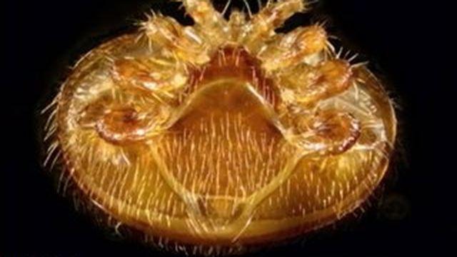 Découverte d'un acarien responsable de la mort des abeilles