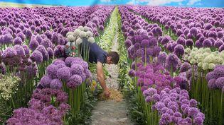Faux ciel mais vraies fleurs au 23eHampton Court Palace Flower Show, le plus grand marché aux fleurs du monde, organisé chaque année à Londres (Royaume-Uni), le 2 juillet 2012. (PETER MACDIARMID / GETTY IMAGES)