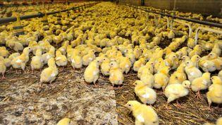 Des poussins dans un élevage du Merzer (Côtes-d'Armor), enjuin 2012. (MAXPPP)