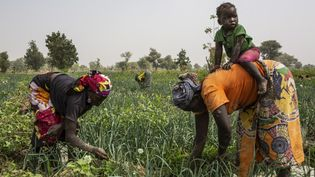 Des femmestravaillent dans un champ d'oignons près de Gazawa, au nord du Cameroun. (PATRICK MEINHARDT / AFP)