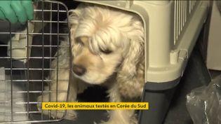 En Corée du Sud, des chiens ou des chats fiévreux peuvent se faire tester contre le coronavirus. L'annonce gouvernementale est arrivée après l'annonce de la première contamination d'un animal, mercredi 10 février. (FRANCEINFO)