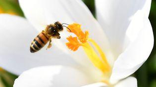Abeille butinant une fleur du parc Saint James à Londres. La raréfaction des abeilles représente une menace pour la sécurité alimentaire. (TOBY MELVILLE / X90004)