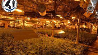 Photo de quelques-uns des 8 000 plants de cannabis saisis et détruits, mercredi 6 novembre 2019, au cœur de Roubaix (Nord). (POLICE JUDICIAIRE)