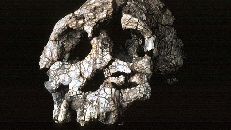(Crâne d'un homme ayant vécu à la même époque que Lucy © Maxppp)