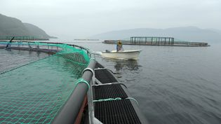 Une ferme d'élevage de saumons de Mowi, le 11 septembre 2014 en Norvège. (ERIC PIERMONT / AFP)