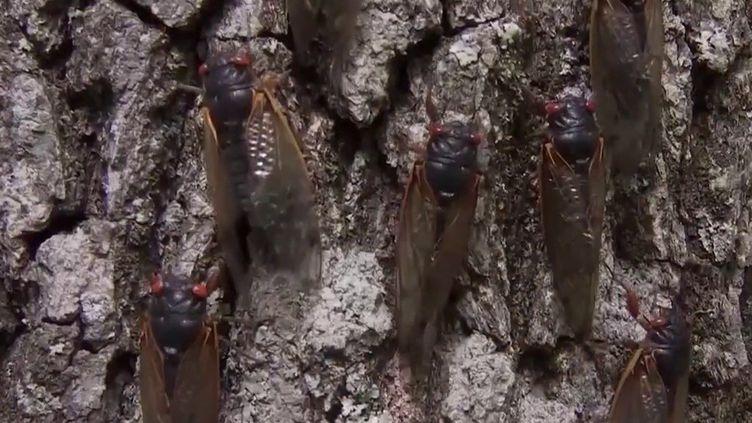 Les États-Unis subissent actuellement une invasion de cigales. (CAPTURE ECRAN FRANCE 2)