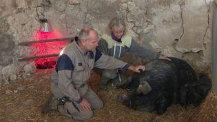 Un chef de cabine d'Air France a décidé de tout quitter pour élever des porcs noirs dans le Gers. Son épouse l'a suivie dans cette aventure. (France 3)