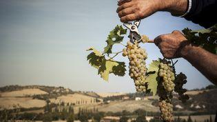 Un homme coupe des grappes de raisin, en Italie, le 6 décembre 2013. (WALTER ZERLA / CULTURA CREATIVE / AFP)