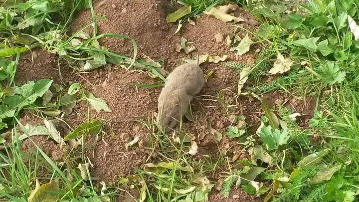 Le cadavre d'un campagnol terrestre, plus connu sous le nom de rat taupier en Auvergne. (COLLECTIF CONTRE LES RATS TAUPIERS)