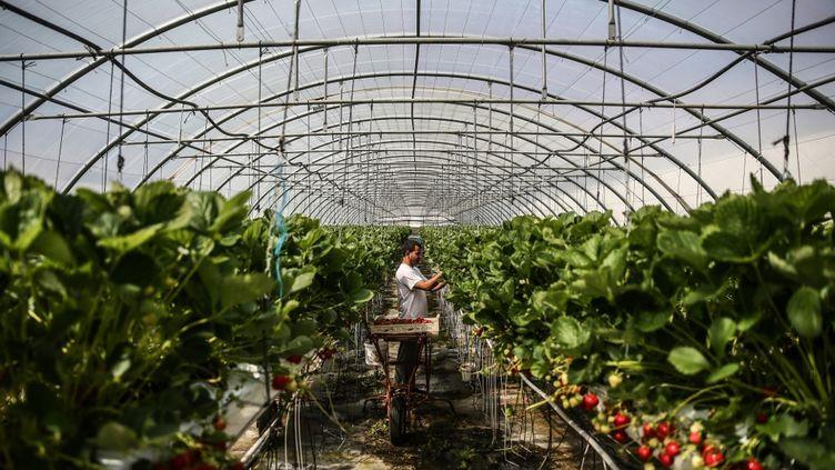 La récolte des fraises à Thurins (Rhône), en mai 2020. (ANTOINE MERLET / HANS LUCAS / AFP)