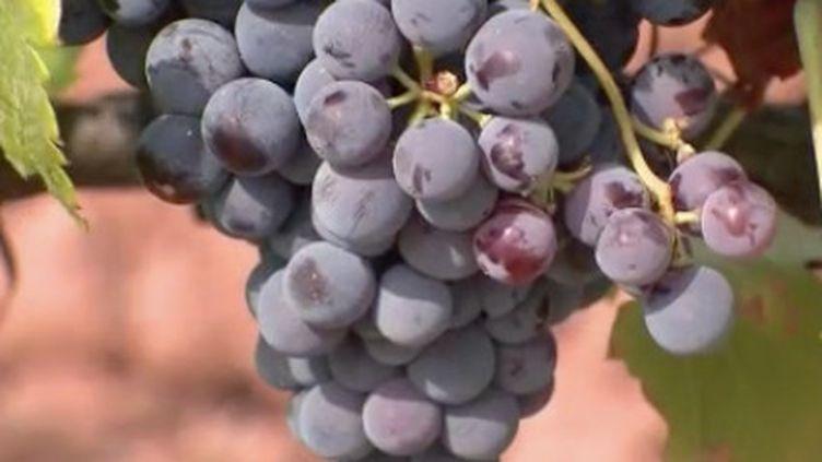 Il y a eu le mildiou, les intempéries, et les incendies dans le massif des Maures.Et à quelques jours des vendanges, les viticulteurs sont inquiets pour la cuvée 2021.Le raisin a un goût de brûlé. (FRANCE 3)