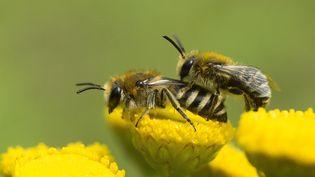 Selon des études scientifiques, les abeilles sont particulièrement touchées par les effets nocifs des néonicotinoïdes. (Photo d'illustration) (MONIQUE BERGER / AFP)