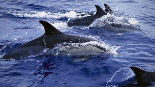 Les dauphins sont plutôt rares à cette époque de l'année dans le bassin d'Arcachon. (FLIP NICKLIN / MINDEN PICTURES / AFP)