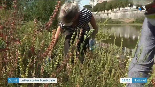 Gard : la lutte contre l'ambroisie, plante invasive et allergène, est lancée