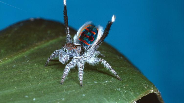 Une nouvelle espèce d'araignée-paon, comme celle-ci photographiée en 2004, a été découverte dans le nord de l'Australie, en 2017. (AUSCAPE / UIG / UNIVERSAL IMAGES GROUP / GETTY IMAGES)