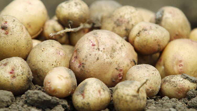 Des pommes de terre récoltées au Centre international de la pomme de terre, au Pérou, le 27 août 2010. (ENRIQUE CASTRO-MENDIVIL / REUTERS)