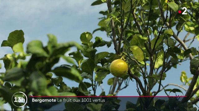 Agriculture : la bergamote, un fruit recherché