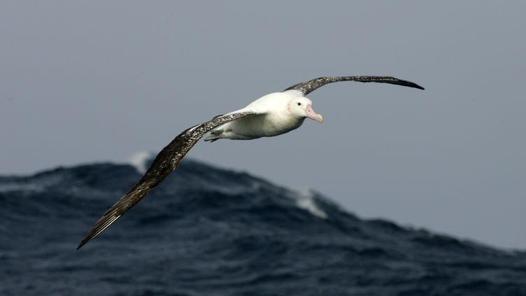 Un grand albatros, le 1er juillet 2007. (MARCEL MOCHET / AFP)