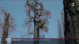Ces arbres âgés pour certains de plus de 2000 ans font partie du patrimoine de la Californie, mais sont aujourd'hui menacés. (Capture d'écran France 2)