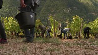 En Lozère, des viticulteurs ont choisi de replanter de la vigne dans des territoires où elle avait disparu. (France 3)