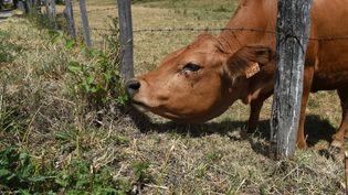Une vache àSaint-Martin-en-Haut (Rhône), le 17 juillet 2015. (PHILIPPE DESMAZES / AFP)