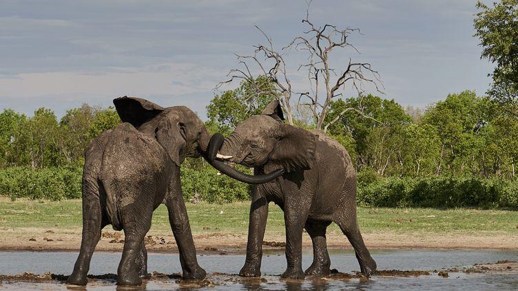 Eléphants en train de jouer le 7 octobre 2018 dansle Hwange National Park au Zimbabwe (ERIC LE GO  / ONLY WORLD)