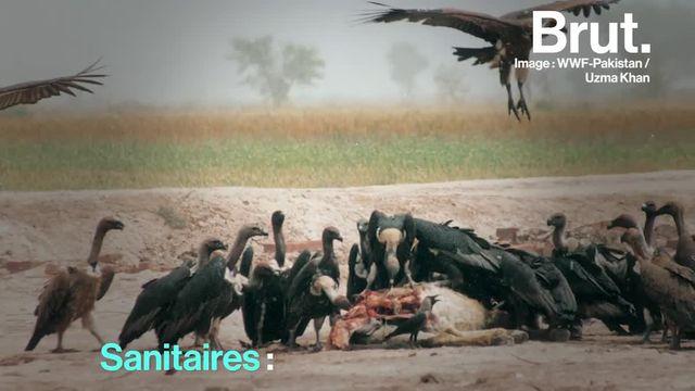 Brut : les vautours en voie d'extinction