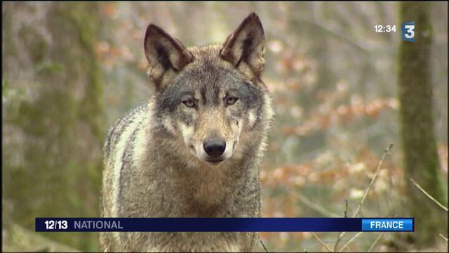 Loups : le gouvernement autorise l'abatage de 40 spécimens