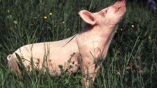 Un cochon devin doit sentir quel sera le résultat des matchs de l'Euro 2012. (HEINZ TSCHANZ-HOFMANN / TIPS / AFP)