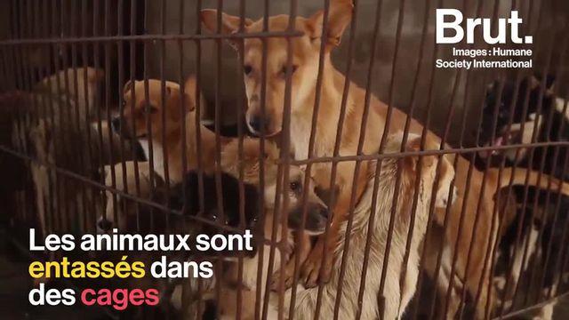 Des chiens et chats ébouillantés et tués pour être mangés. Chaque année, le festival de Yulin, dans le sud de la Chine fait parler de lui. Malgré son aspect traditionnel, cet évènement annuel reste très controversé.