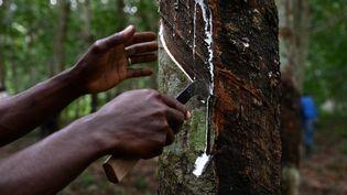 A Sikensi, au nord d'Abidjan, on forme au métier de saigneur d'hévéa. Un travail méticuleux qui permet de récupérer le latex de l'arbre. (ISSOUF SANOGO / AFP)