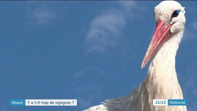 Alsace : y-a-t-il trop de cigognes ?