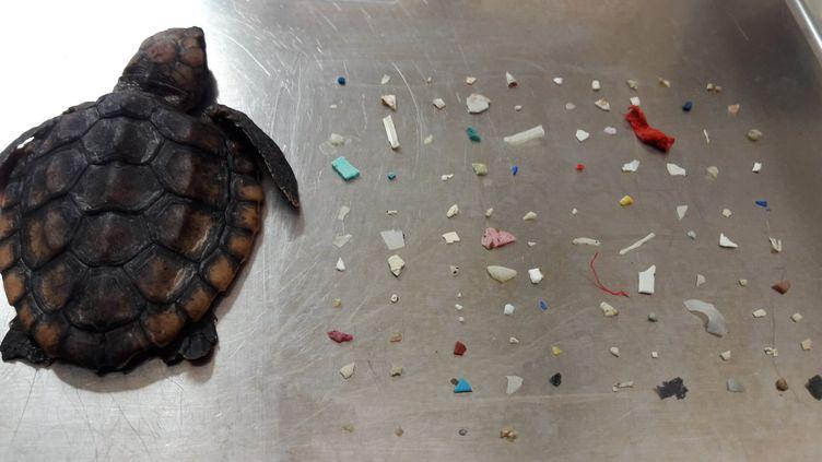Une tortue marine morte et les morceaux de plastique qu'elle avait ingérés, le 1er octobre 2019, en Floride (Etats-Unis). (GUMBO LIMBO NATURE CENTER / FACEBOOK)