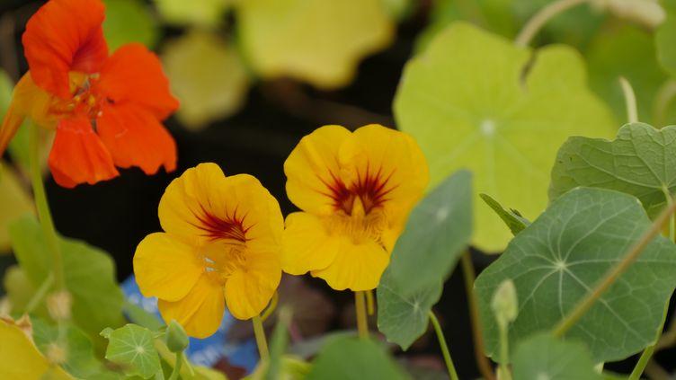 Les capucines fleurissent de mai aux gelées. (ISABELLE MORAND / RADIO FRANCE / FRANCE INFO)