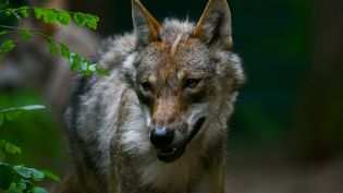 Un loup, en Allemagne du nord, le 27 juin 2019. (PATRIK STOLLARZ / AFP)