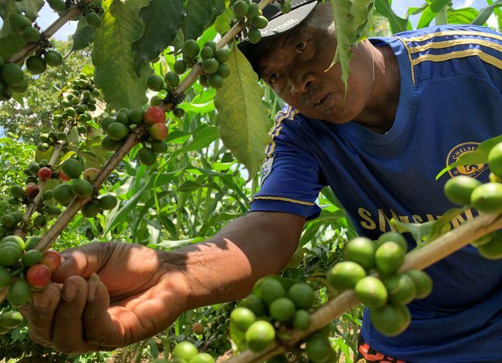 Récolte des cerises dans une plantation de caféiers dans le village d'Amparaky au centre de Madagascar. (CLAREL FANIRY RASOANAIVO / Reuters)
