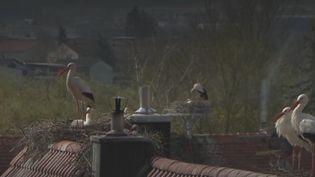 Cigognes (FRANCEINFO)
