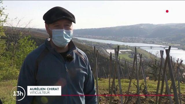 Viticulture : le gel ravage les vignobles
