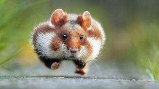 L'adorable hamster de Julian Rad remporte le Premier Prix des Comedy Wildlife Photo Awards 2015.  (Julain Rad)