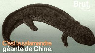 VIDEO - En Chine, la salamandre géante menacée d'extinction  (B)