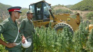 La police détruit un champ de cannabis à Elkolla, à 100 km de la ville de Larache, dans les montagnes du Rif au nord du Maroc, le 7 juillet 2005. (ABDELHAK SENNA / AFP)