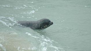 Le phoque moine de Méditerranée est en danger critique d'extinction, selon la liste établie par l'Union internationale pour la conservation de la nature. (J.P. SIBLET / INPN)