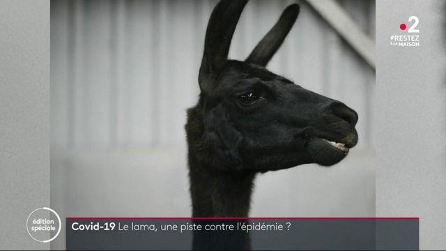 Coronavirus : les lamas, une piste contre l'épidémie ?