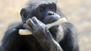 Un chimpanzé croque dans un poireau au zoo Tama de Tokyo, le 9 février 2013. (RIE ISHII / AFP)