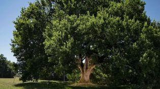 Ce chêne de 25 mètres de hauteur fait la fierté du Lot-et-Garonne : il vient d'être élu plus bel arbre de France 2019. (France 2)