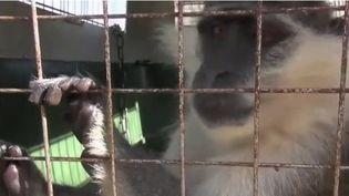 Un singe libanais a fugué du Liban vers Israël, il a dû être escorté par les Nations unies pour retrouver sa maîtresse.  (CAPTURE ECRAN FRANCE 2)