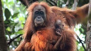 Des orangs-outans d'une nouvelle espèce ont été découverts en Indonésie. (HANDOUT / SUMATRAN ORANGUTAN CONSERVATION / AFP)
